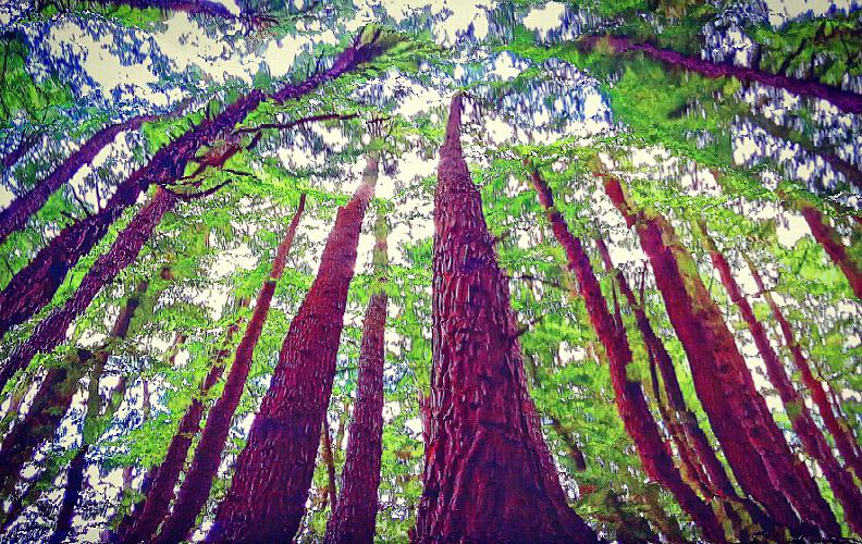 Californian redwoods Warburton this one post
